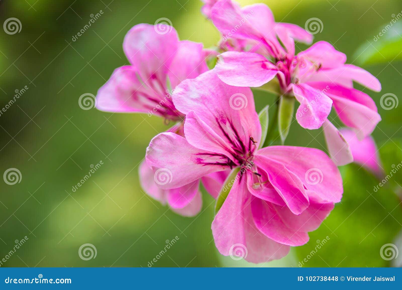 Flores rosadas del Pelargonium