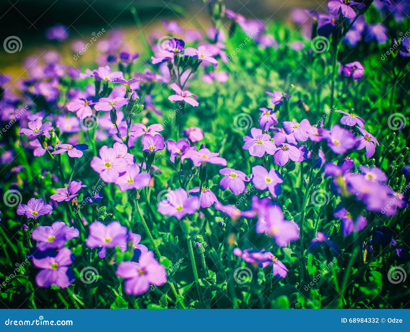 Flores rosadas del polemonio de musgo