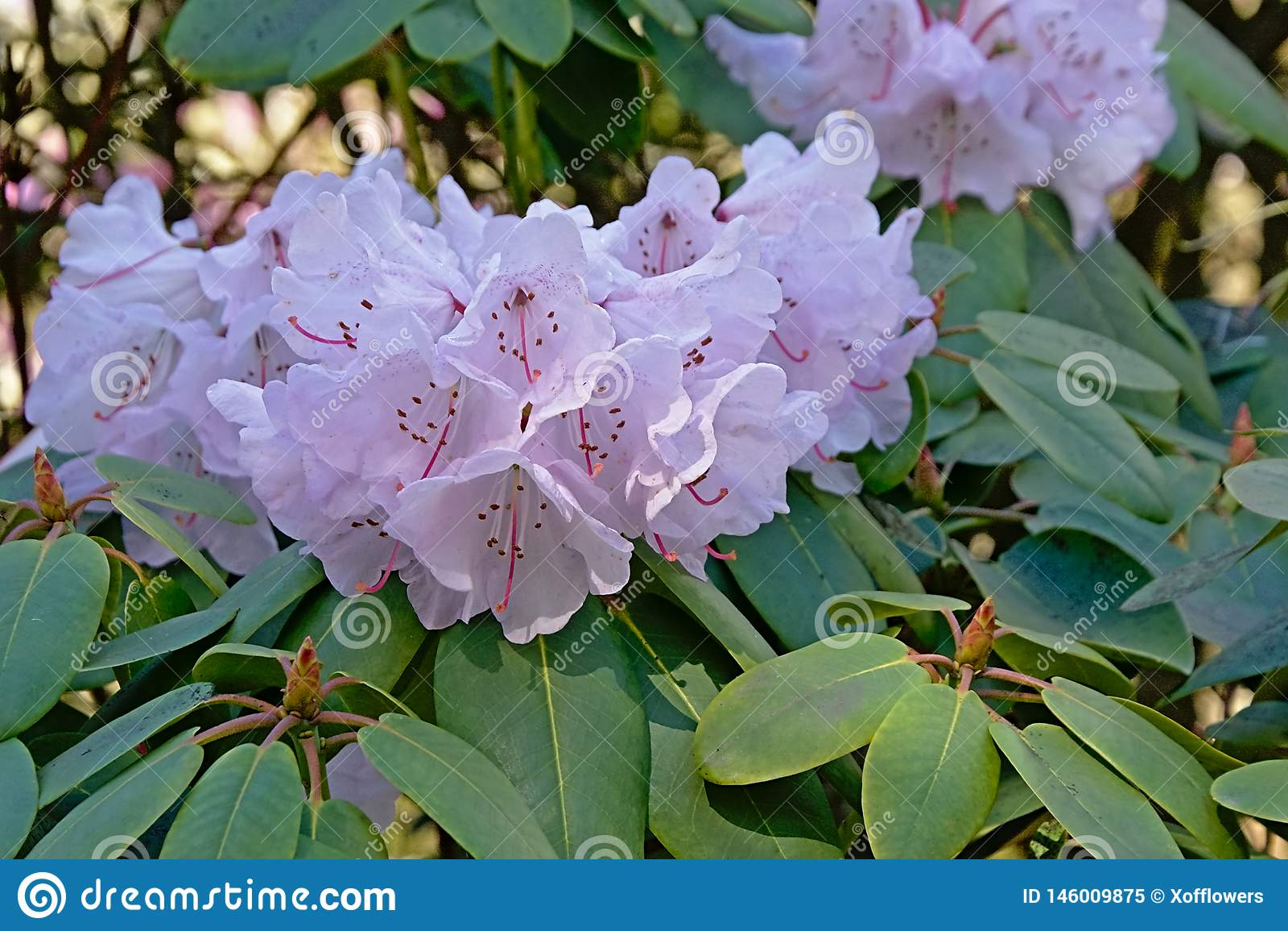 Flores rosadas del rododendro, cierre para arriba