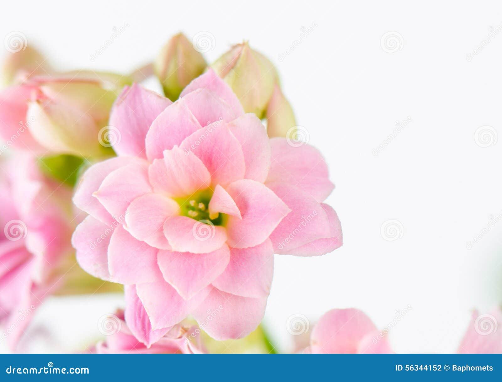 Flores rosadas en el fondo blanco, blossfeldiana de Kalanchoe