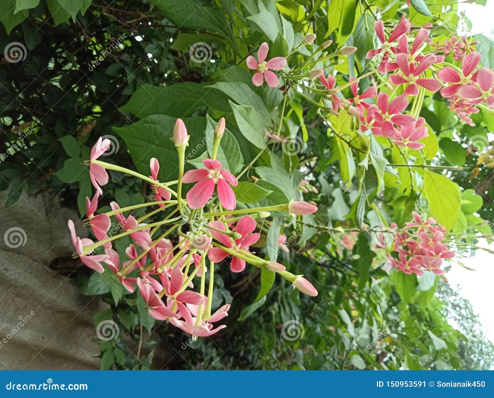 Flores rosadas en racimos con las hojas y los brotes