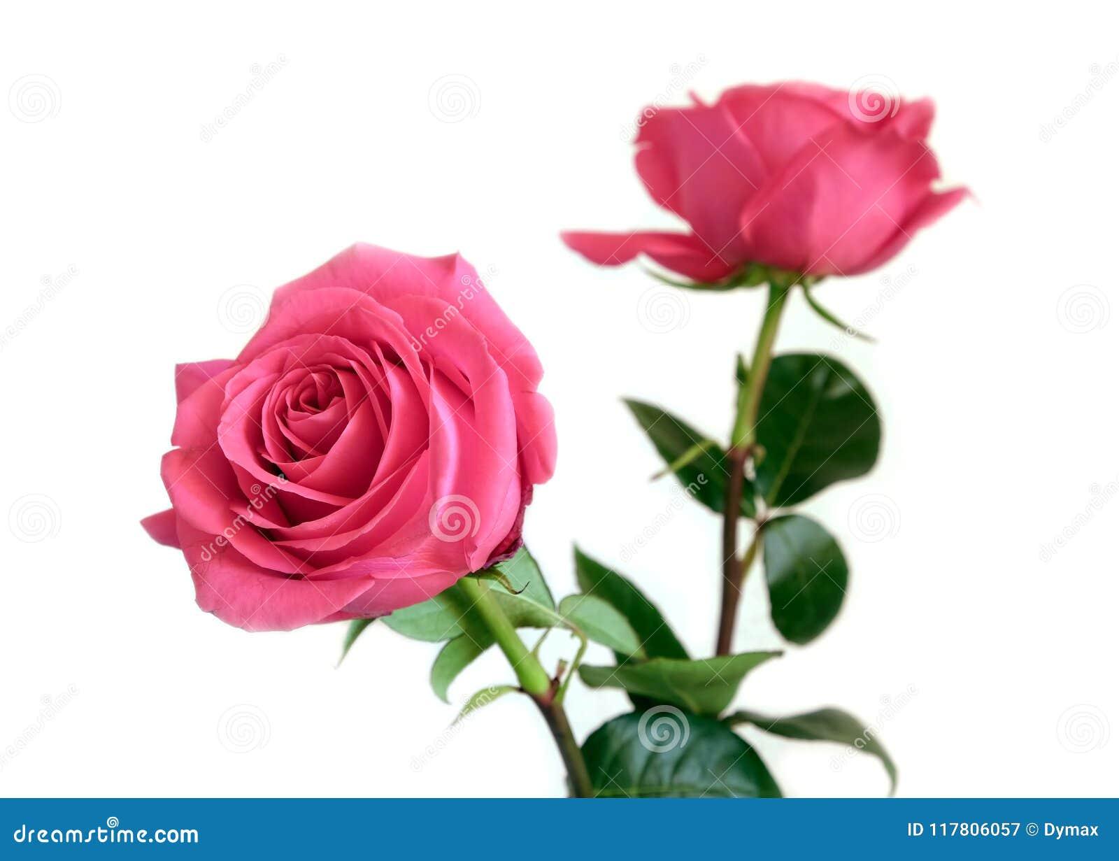 Flores Rosadas Hermosas De Las Rosas Aisladas En El Primer Blanco