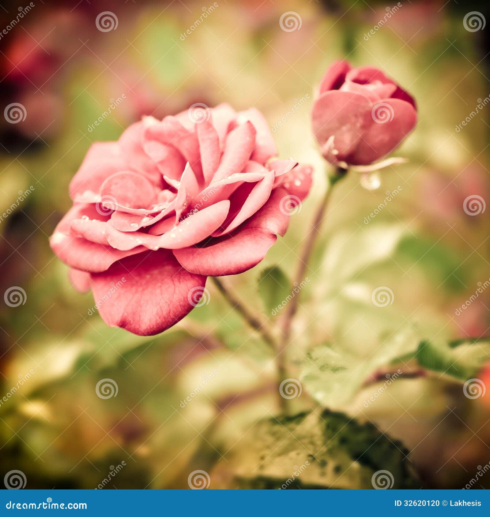Flores rosadas románticas abstractas de las rosas