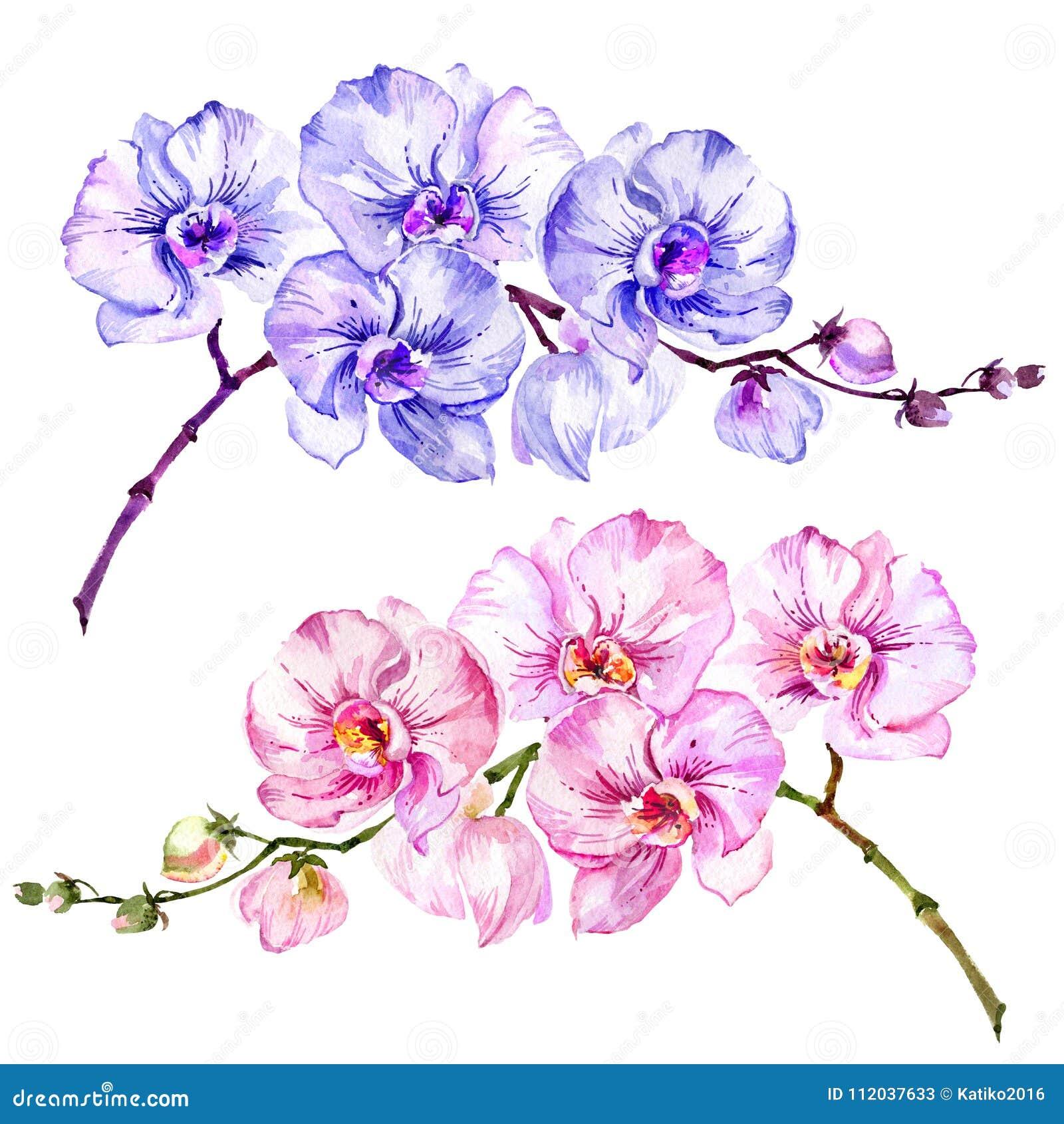 Flores rosadas y azules del Phalaenopsis de la orquídea de polilla Sistema de dos imágenes Aislado en el fondo blanco Pintura de