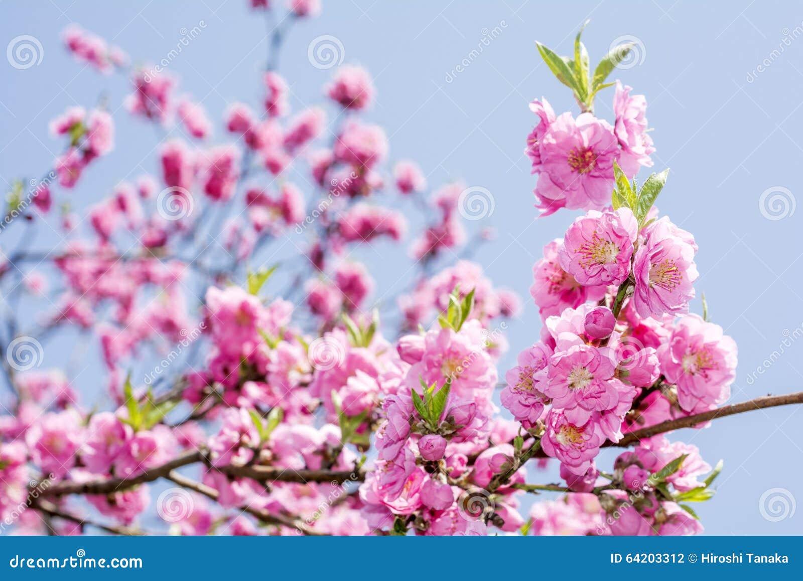 Flores rosados del melocotón