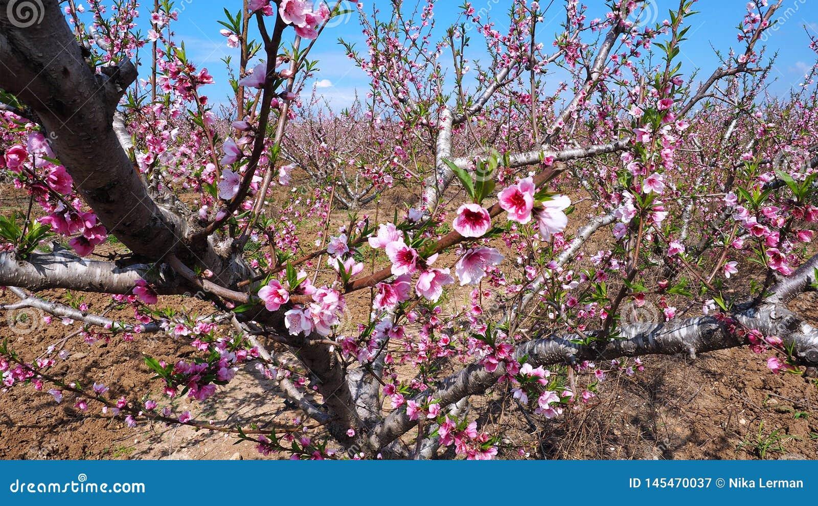 Flores rosados del melocot?n