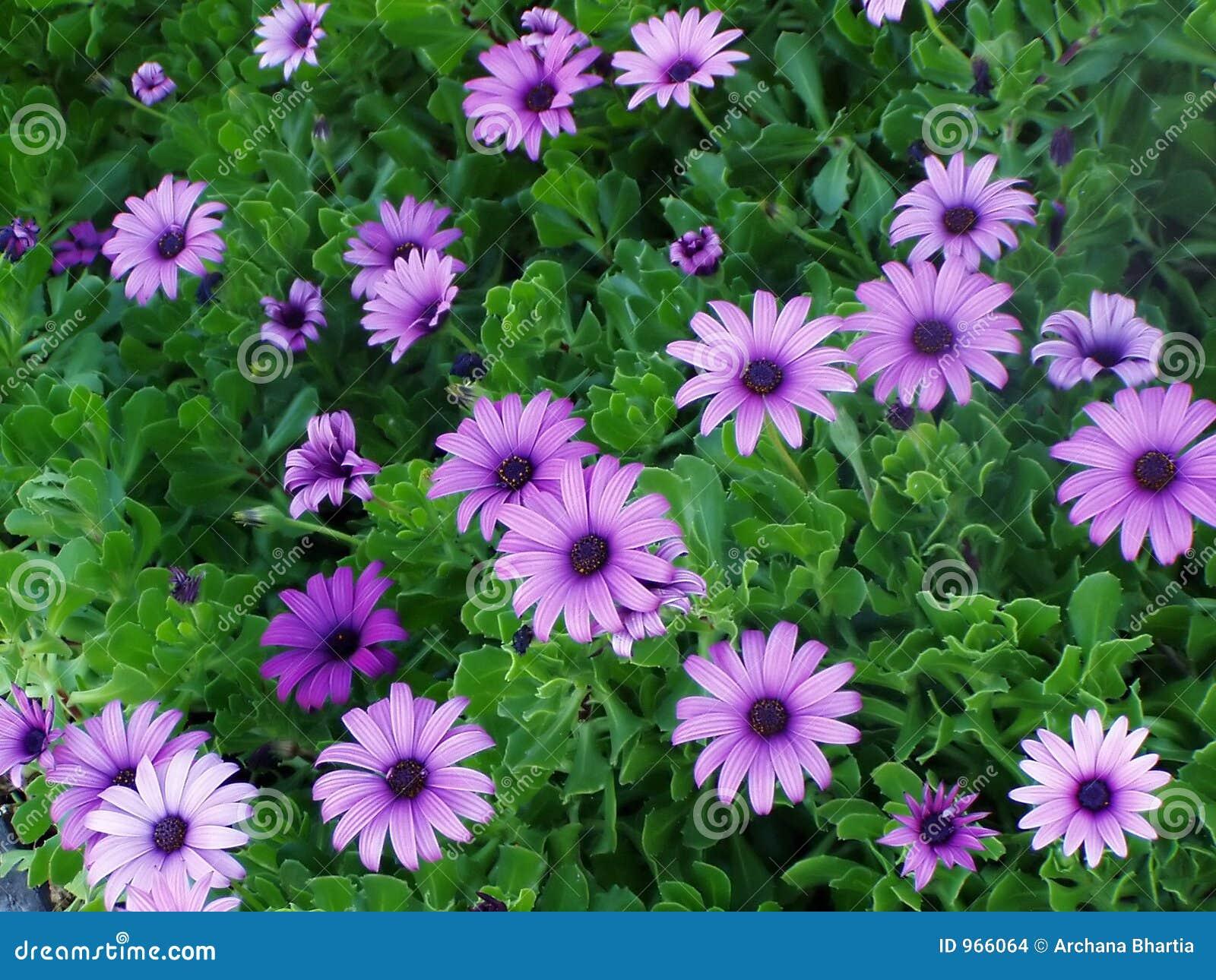 Extremamente Flores roxas foto de stock. Imagem de presente, flora, floral - 966064 JE95