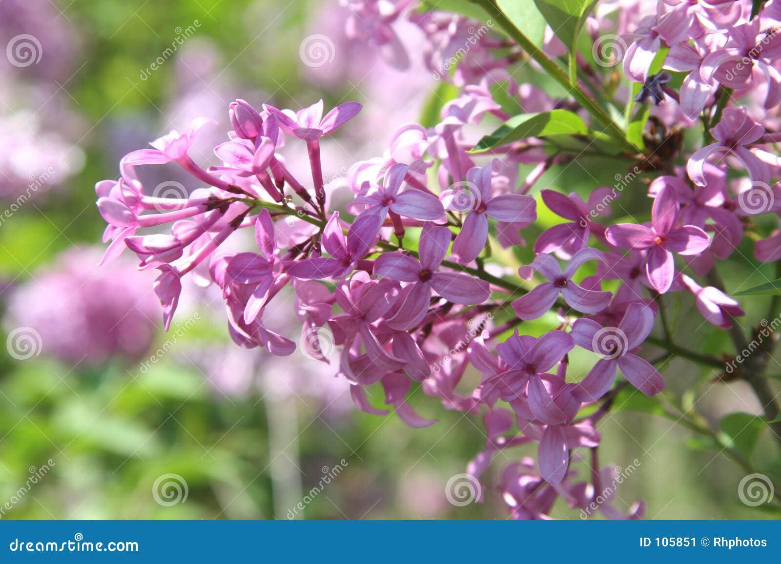 Flores roxas bonitas do Lilac