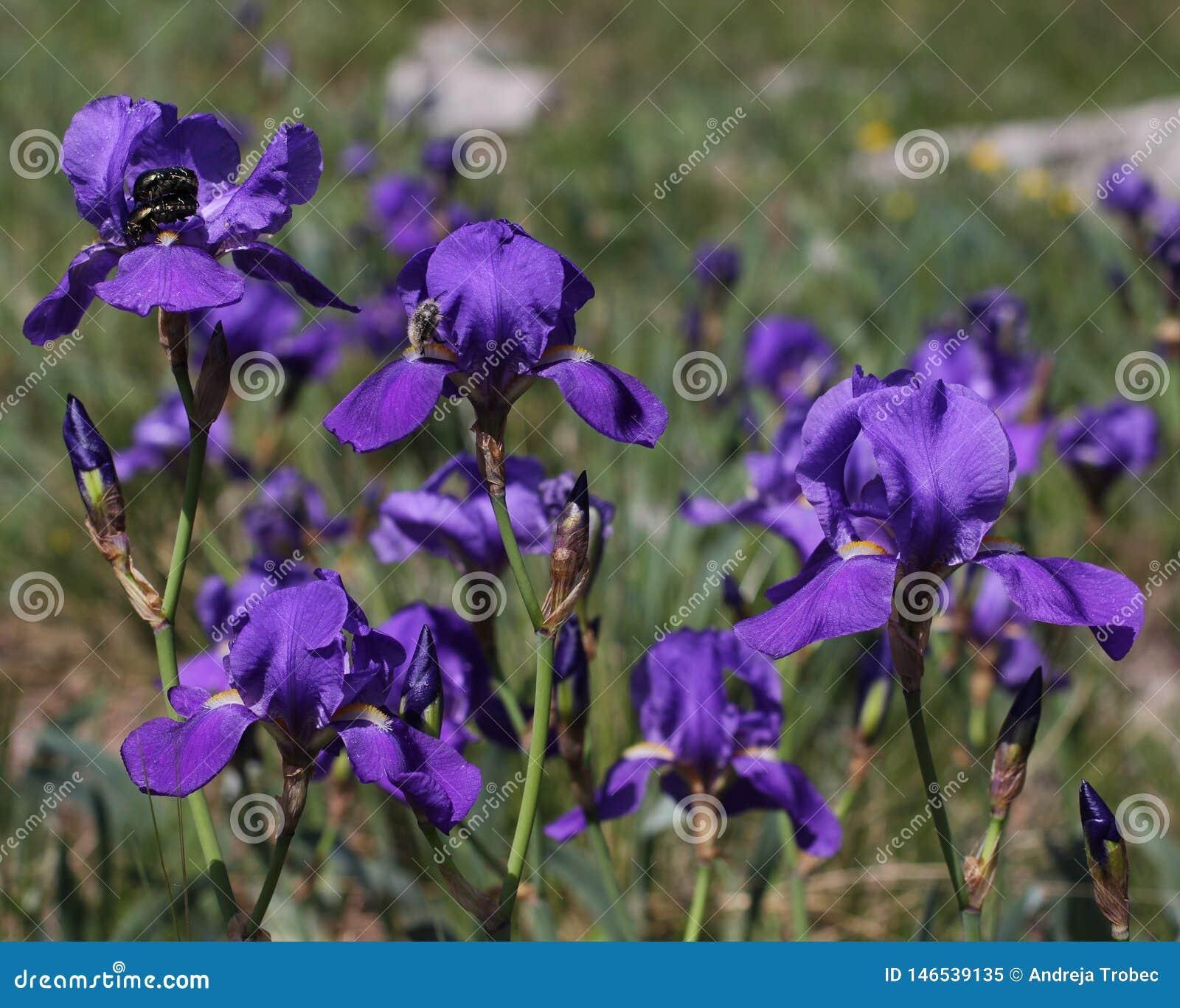 Flores roxas da íris de Illyrian - nome latino - illyrica da íris na região do cársico da natureza