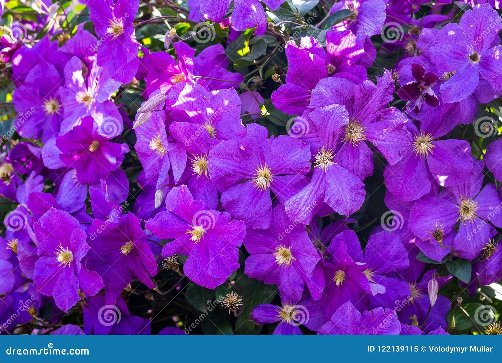 Flores roxas das clematites Clematite coberto de vegetação densa, pattern_