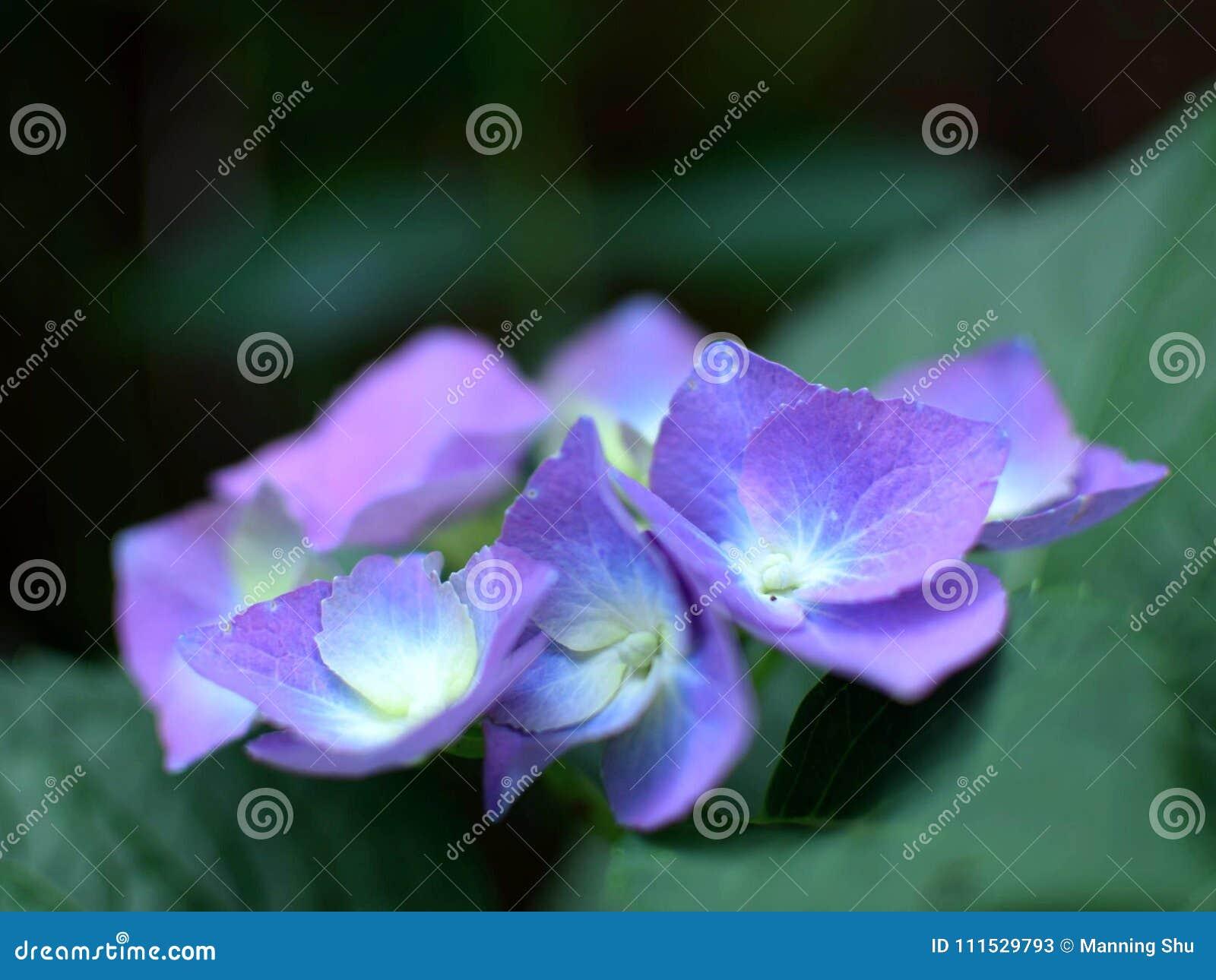 Flores roxas do Hydrangea