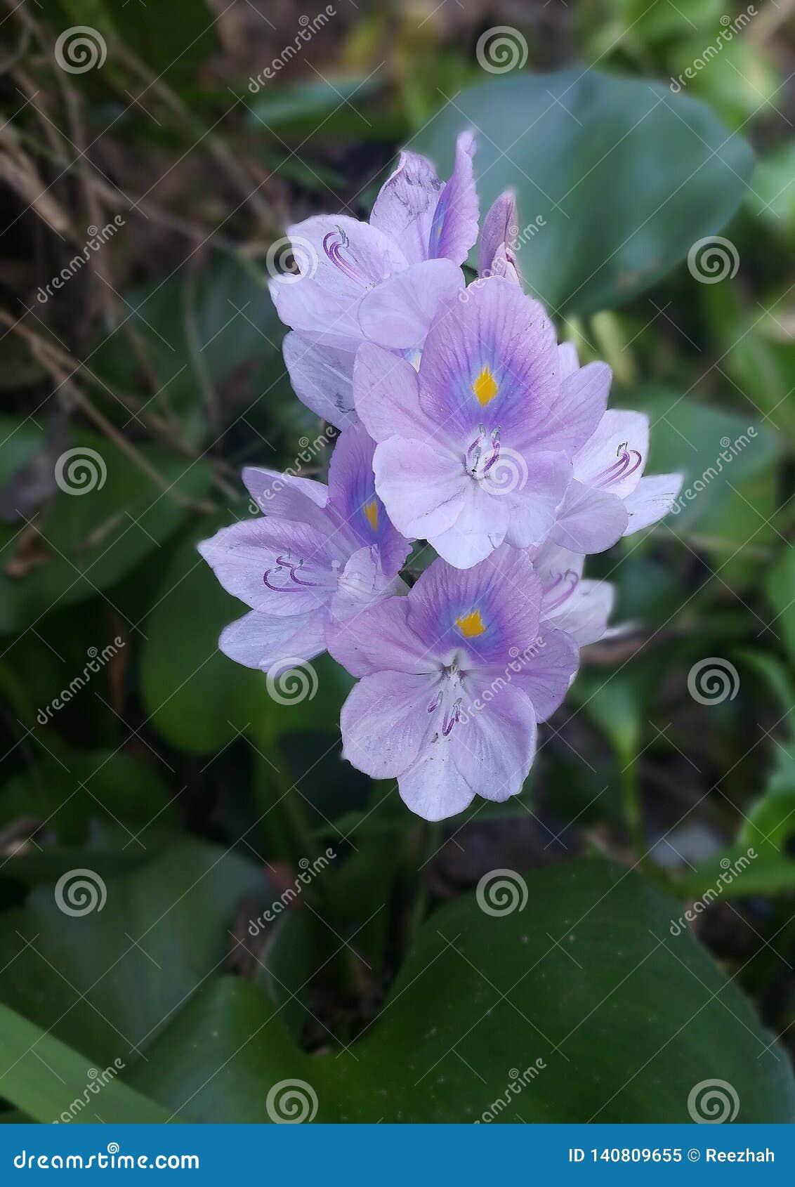 Flores roxas do jacinto de água
