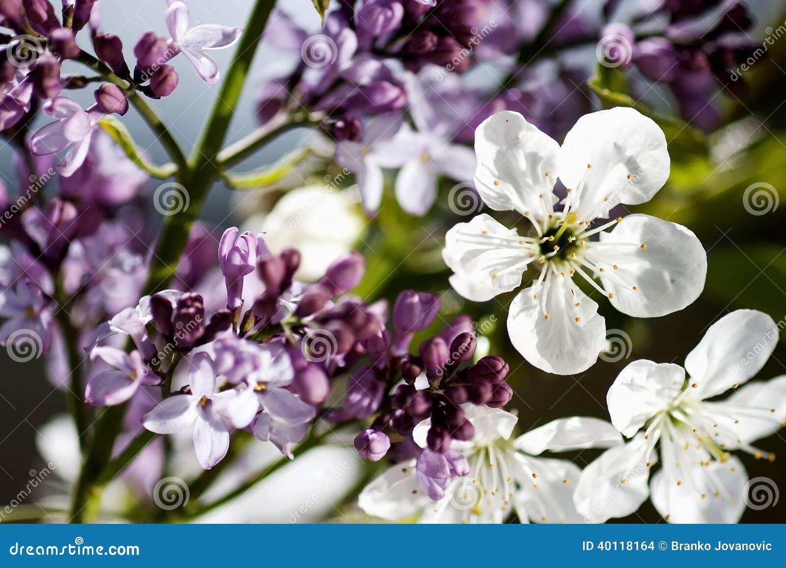 Flores roxas e brancas bonitas no tempo de mola
