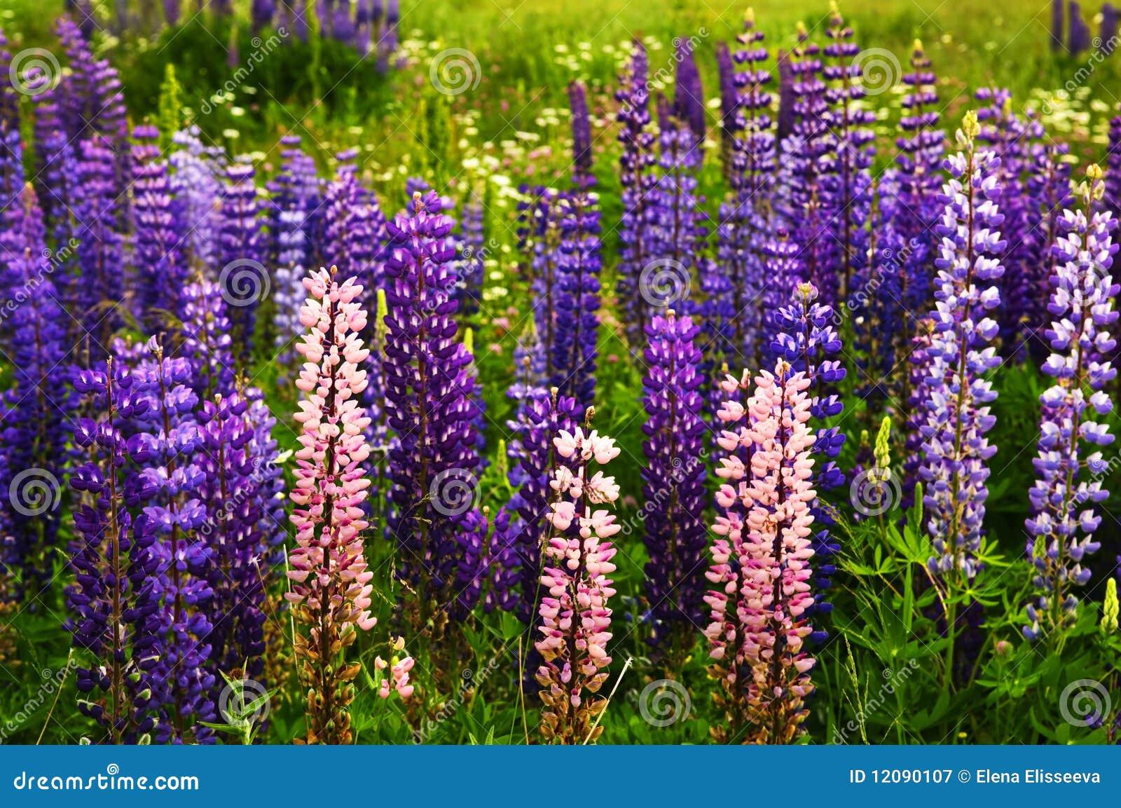 Flores Roxas E Corderosa Do Lupin Do Jardim Fotografia de Stock