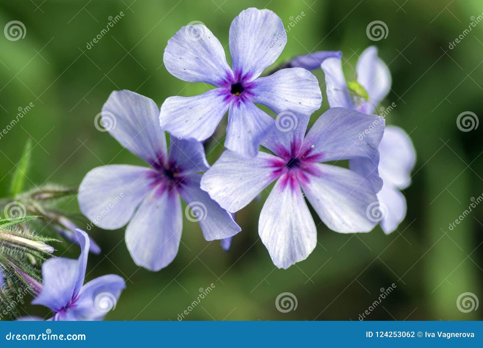 Flores roxas violetas do chattahoochee do divaricata do flox, planta selvagem decorativa na flor