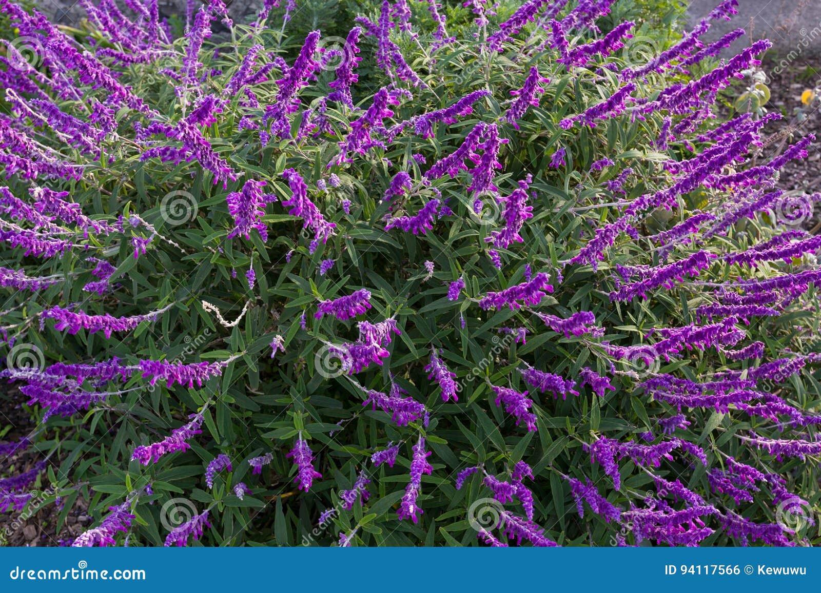 Flores Sabias Del Arbusto Mexicano En Sombra Purpura En El Jardin En - Flores-de-sombra