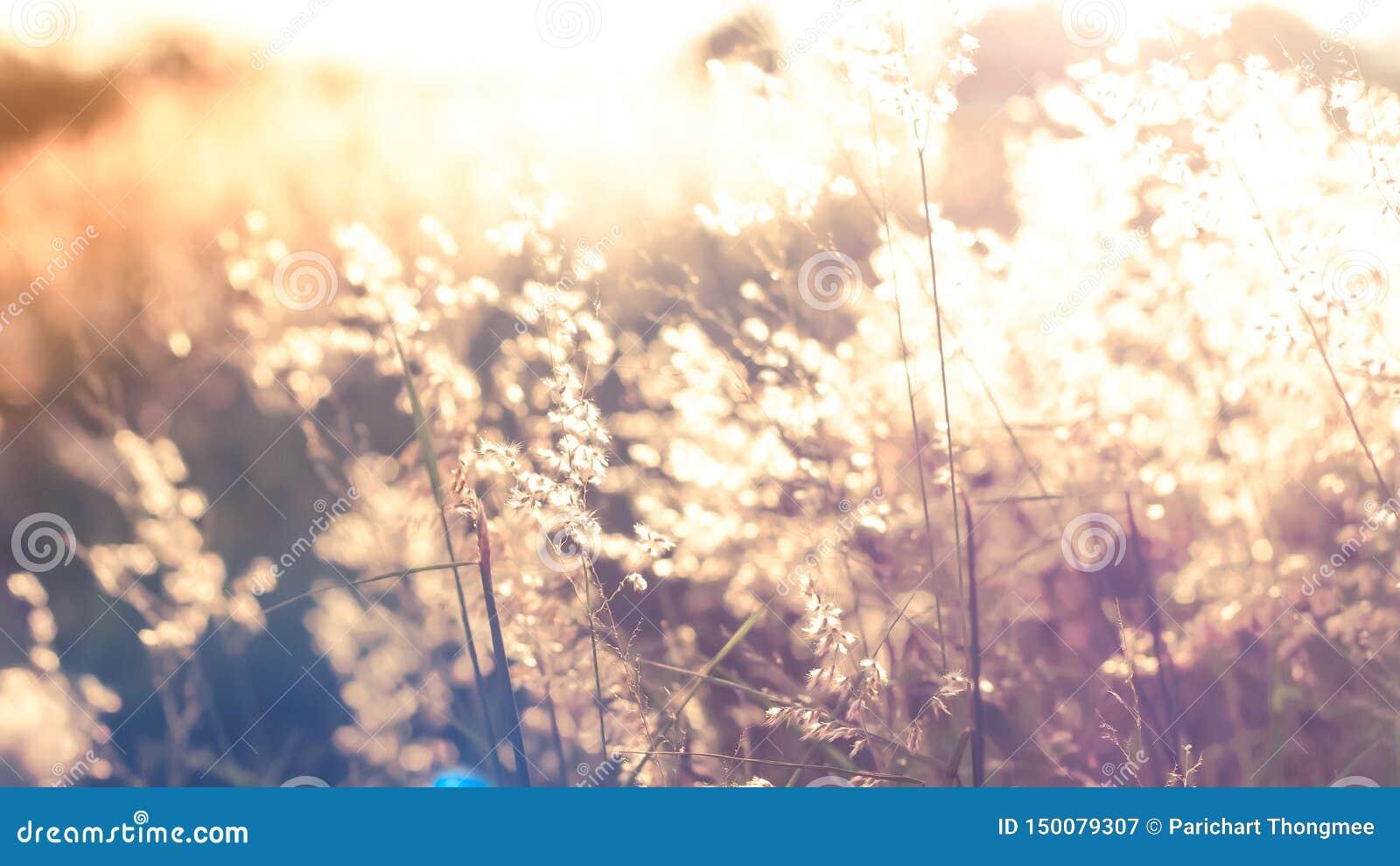 Flores salvajes de la imagen de falta de definición en el campo en fondo de la naturaleza de la luz de la puesta del sol