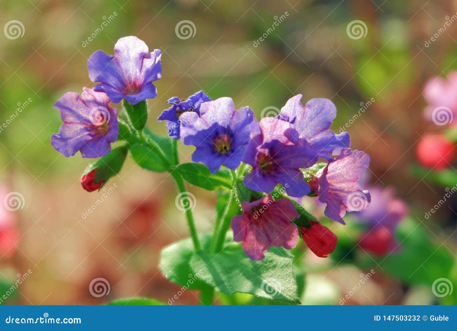 Flores salvajes del color de la lila en un cierre del día soleado para arriba
