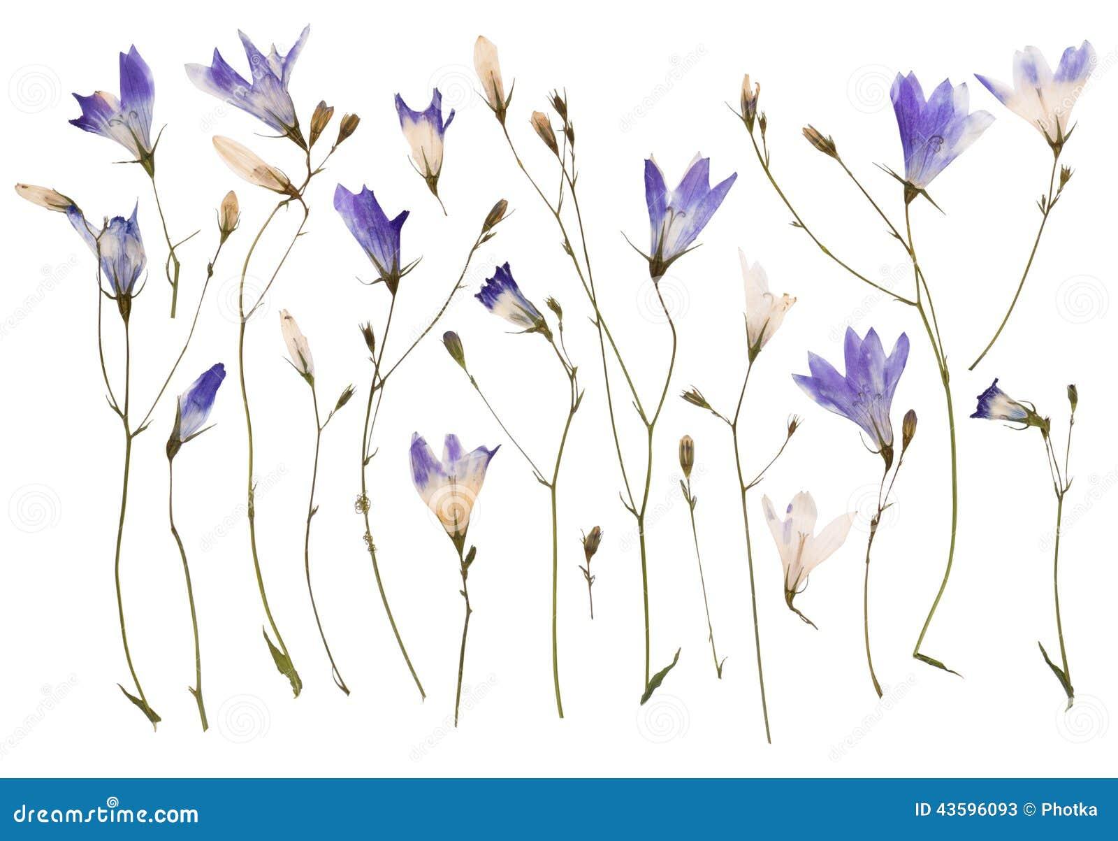 Flores salvajes presionadas