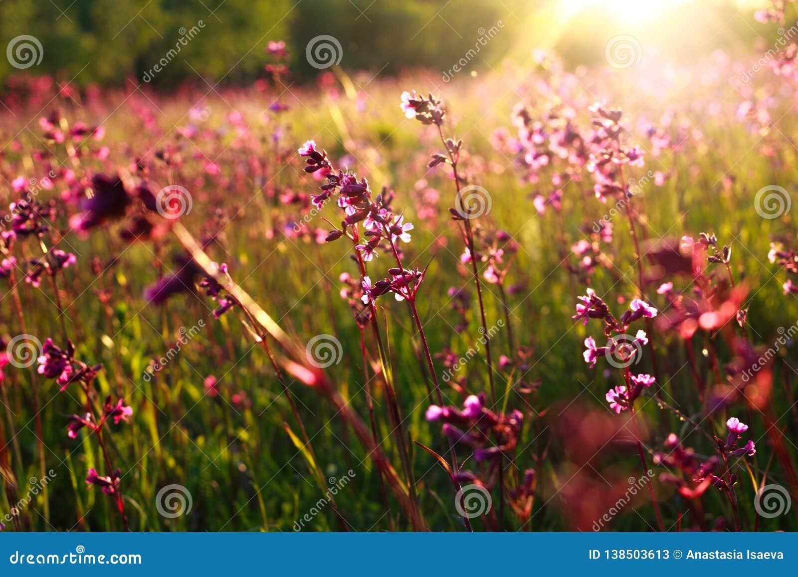 Flores salvajes y rayos de la puesta del sol