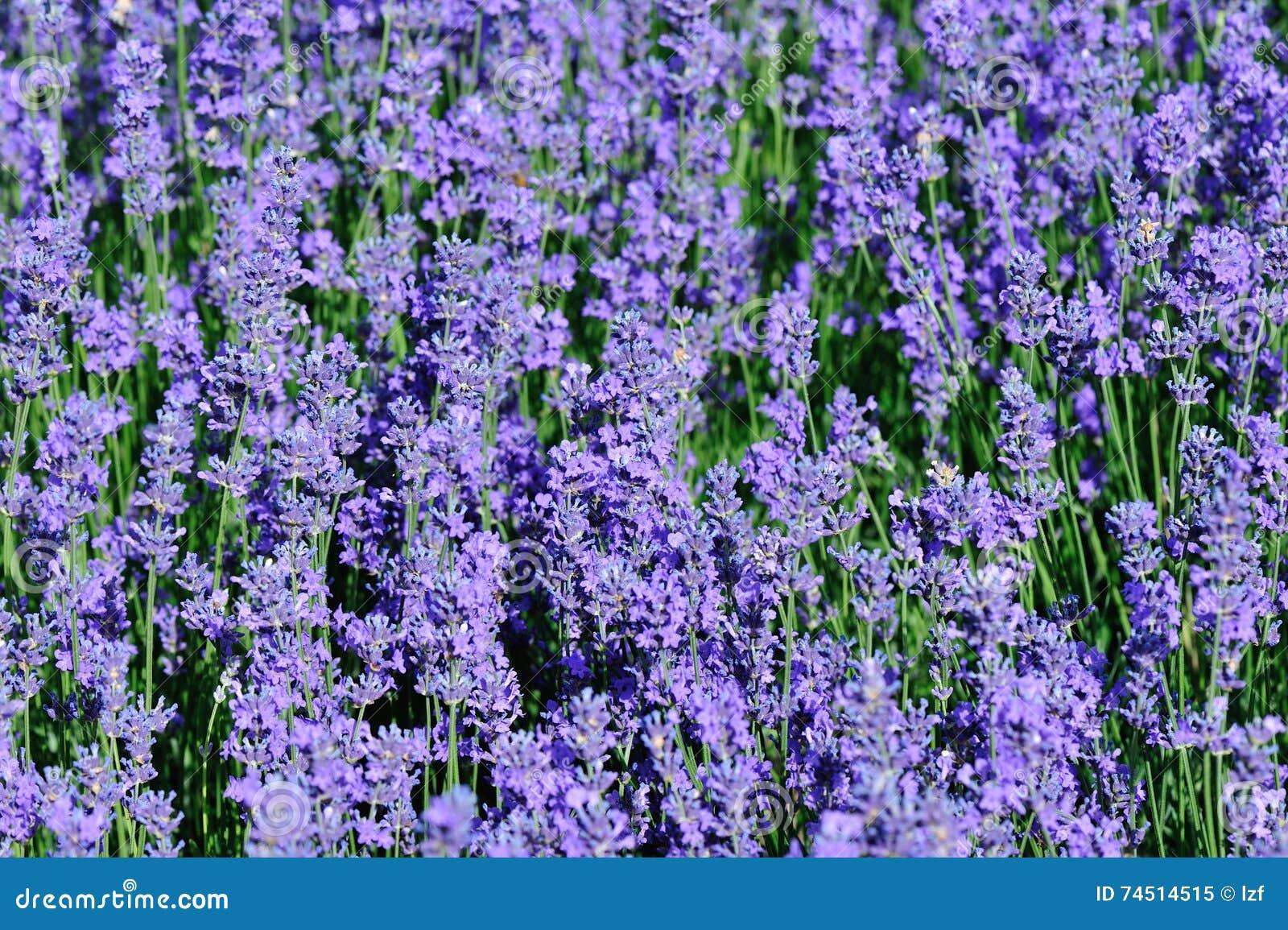 Flores Scented da alfazema no crescimento no campo