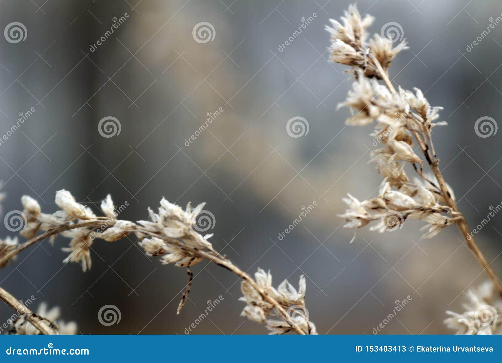 Flores secas da foto macro em ramos marrons