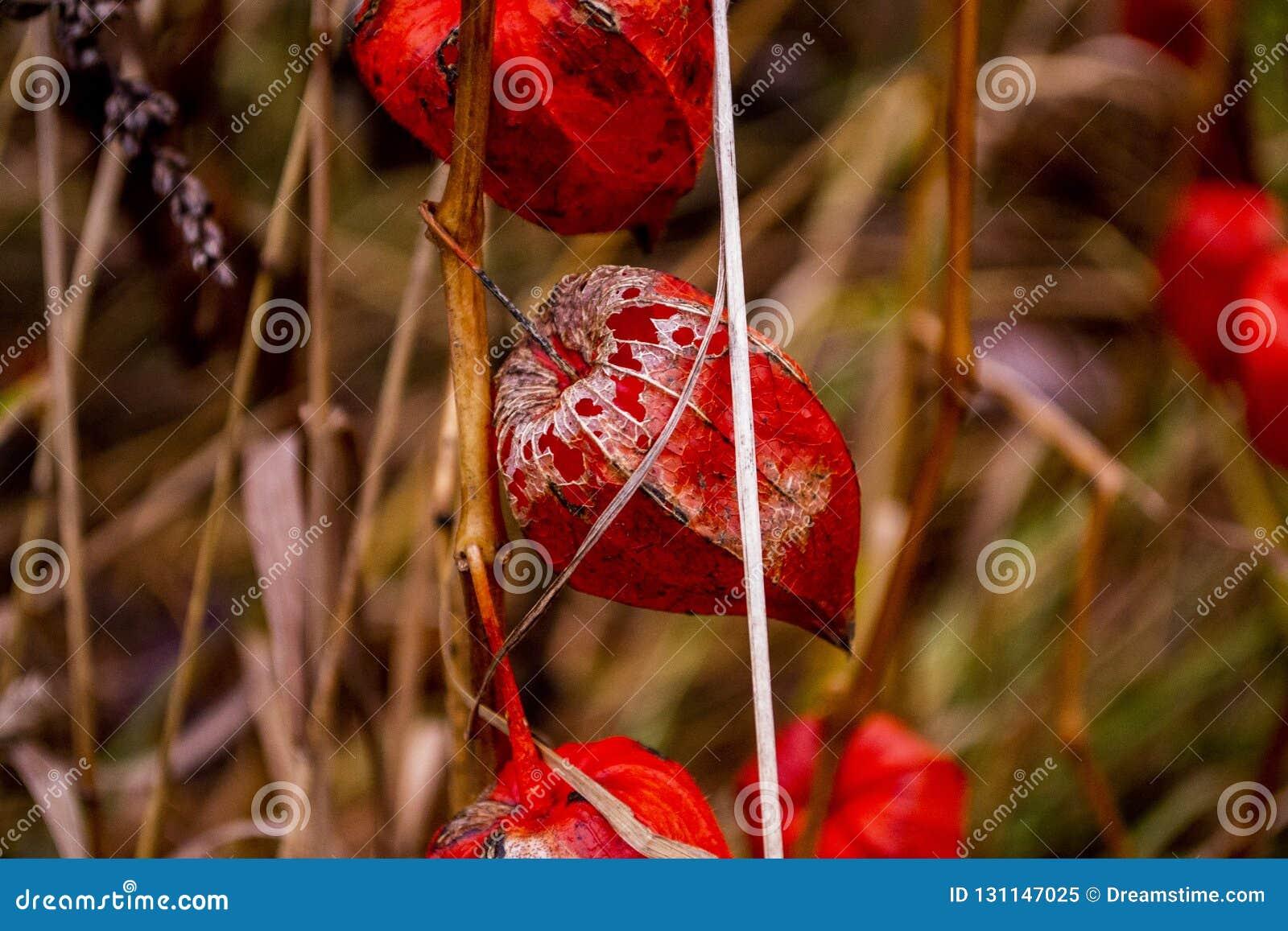 Flores secas vermelhas do outono