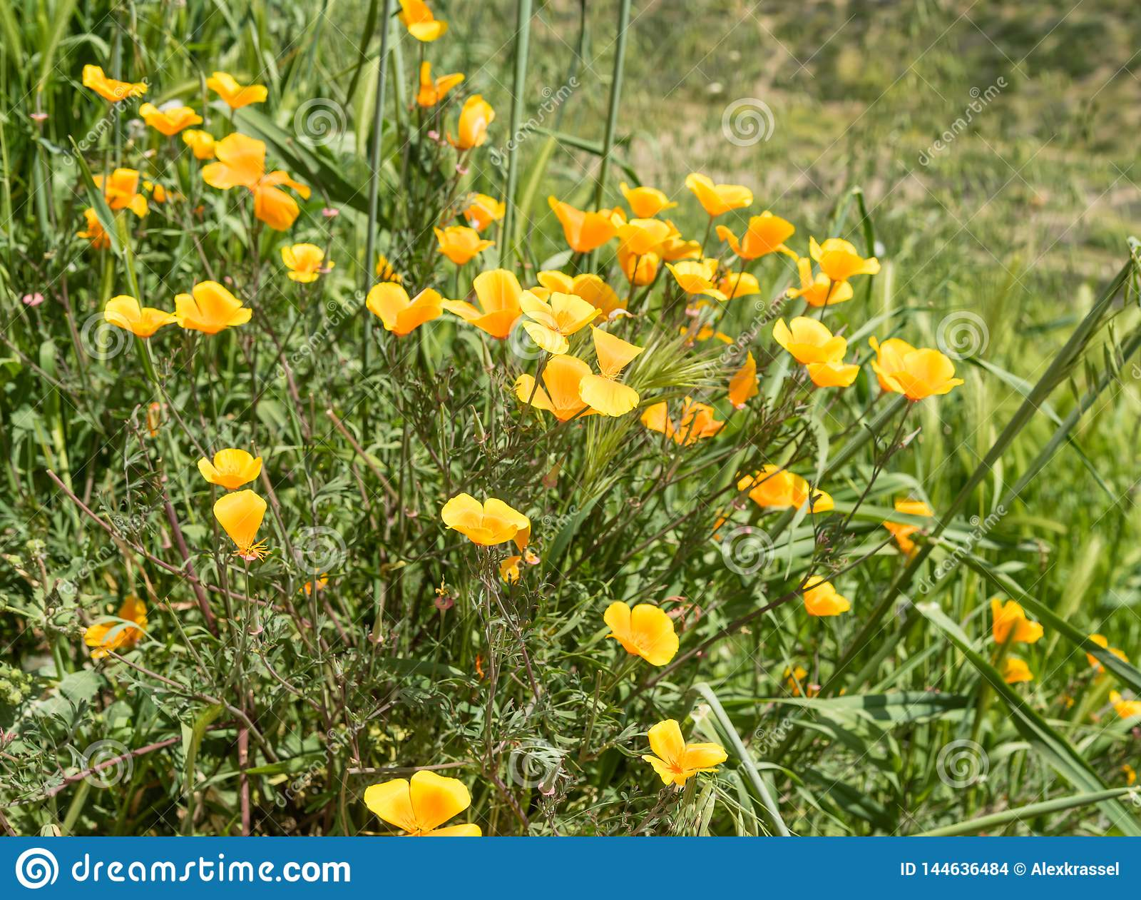 Flores selvagens bonitas - uma parte dos fen?menos do superbloom na cordilheira de Walker Canyon perto do lago Elsinore