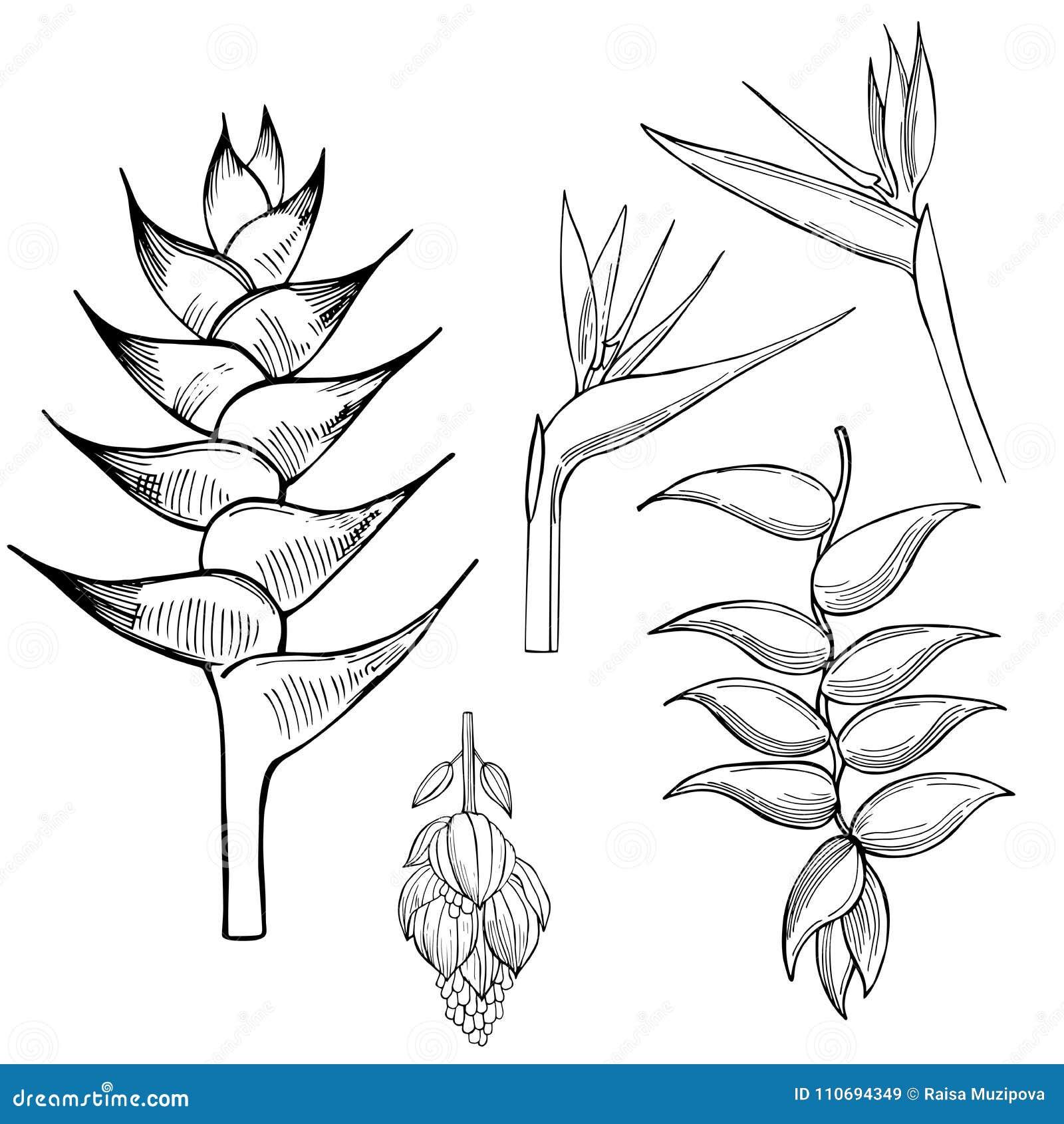 Flores Tropicales Ejemplo Del Bosquejo Del Vector Ilustracion Del