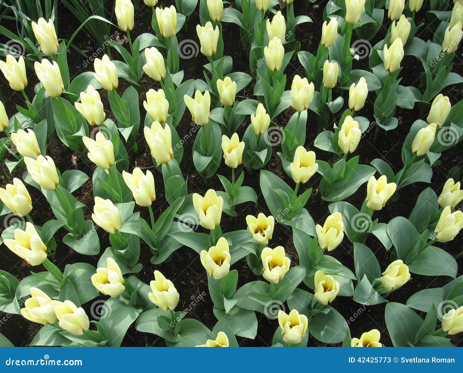 Flores - tulipanes
