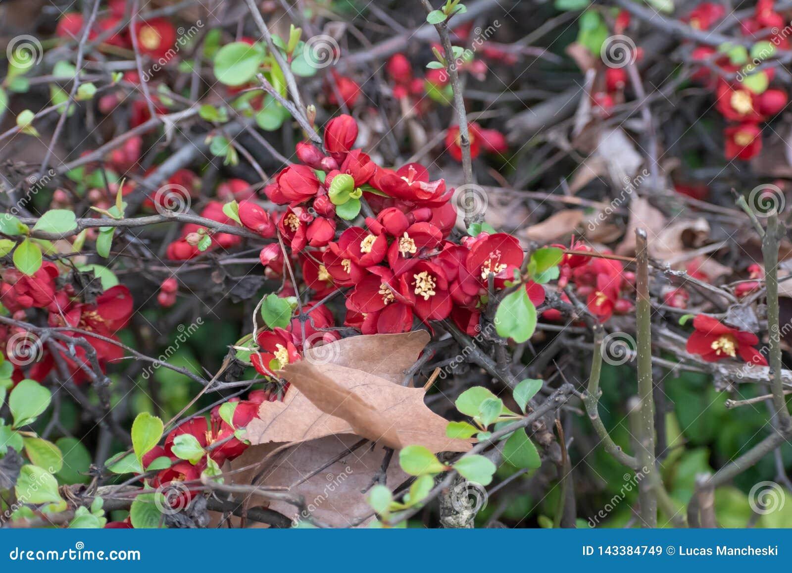 Flores vermelhas carmesins na cidade