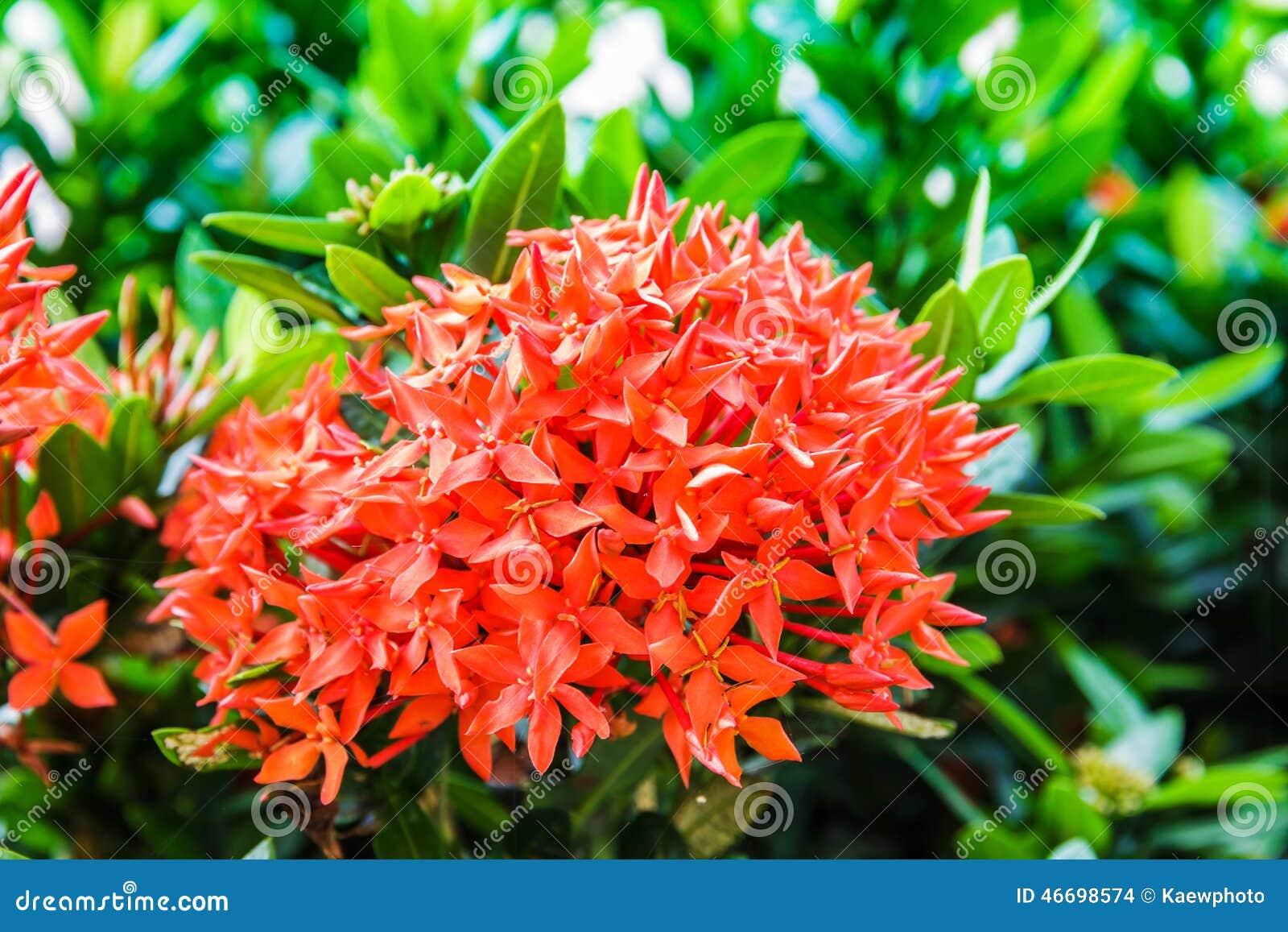 Flores Vermelhas De Ixora Das Fotos Foto de Stock  Imagem 46698574
