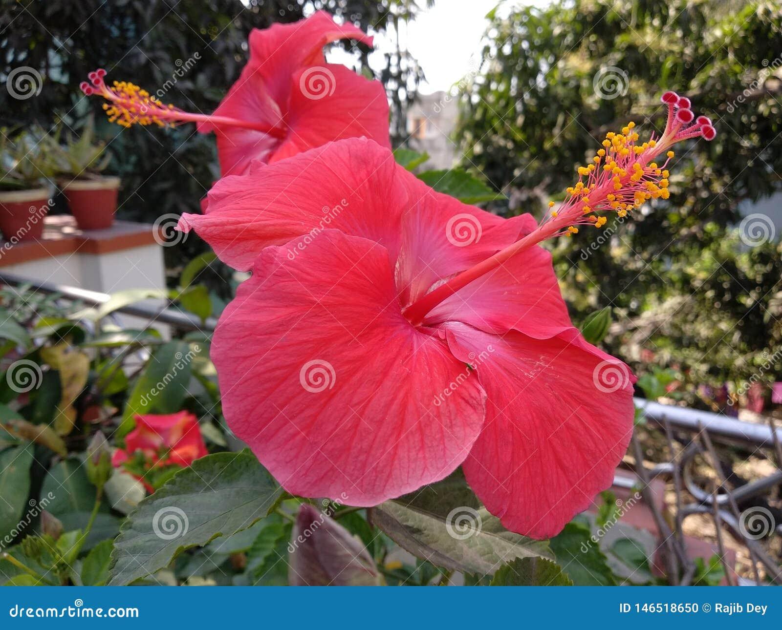 Flores vermelhas do hibiscus no jardim