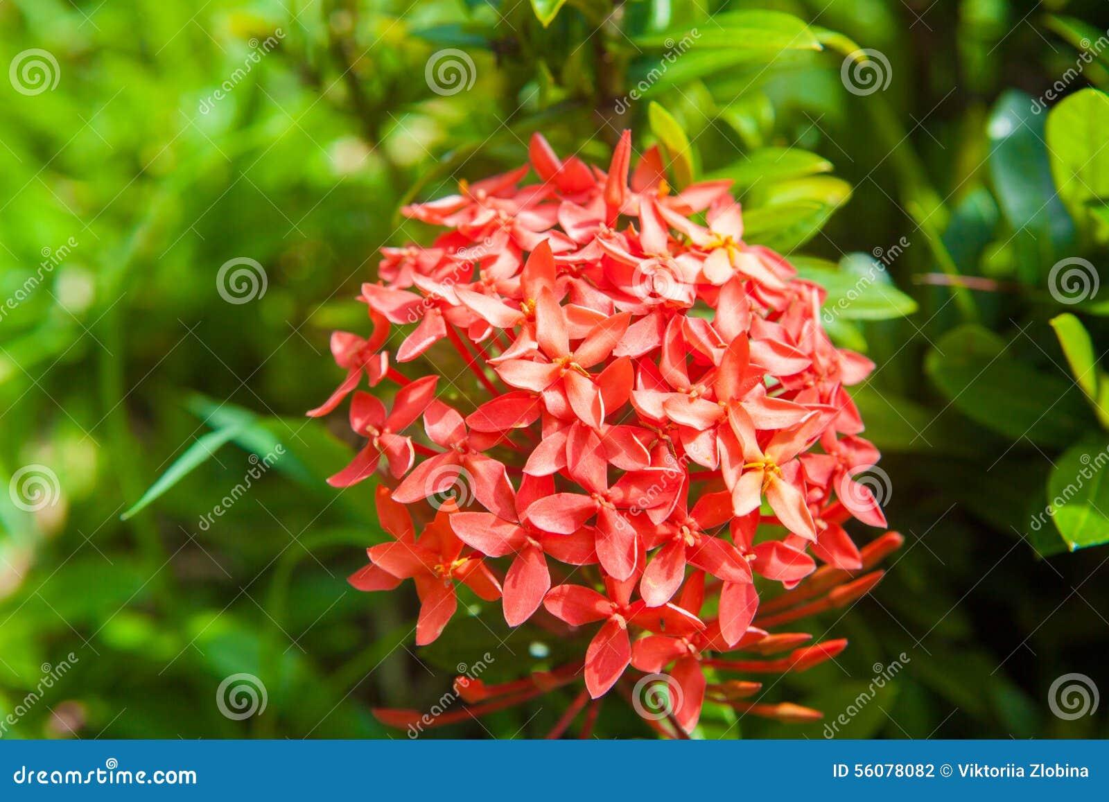 Flores Vermelhas Pequenas Foto De Stock. Imagem De Nave