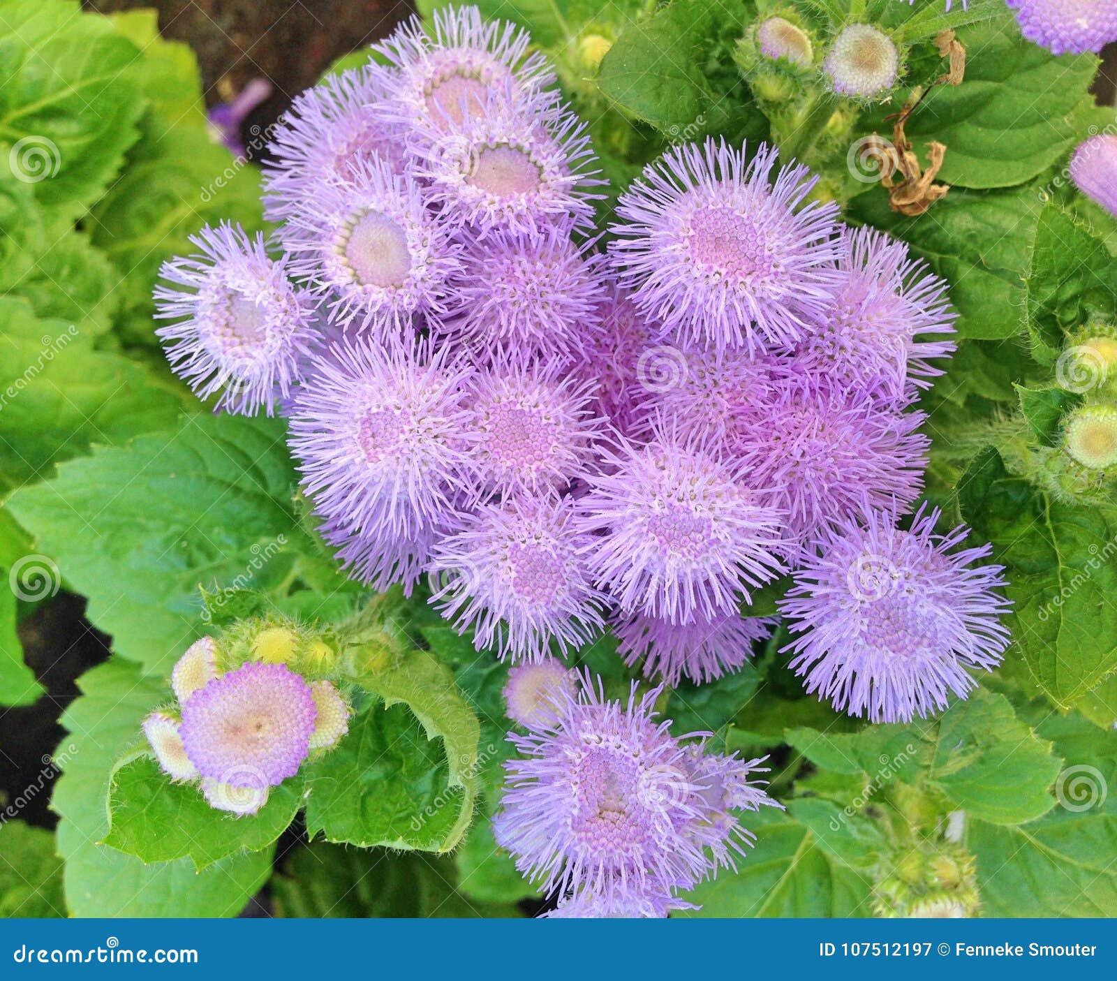 Flores violeta-azules coloridas de la seda de Houstonianum del Ageratum