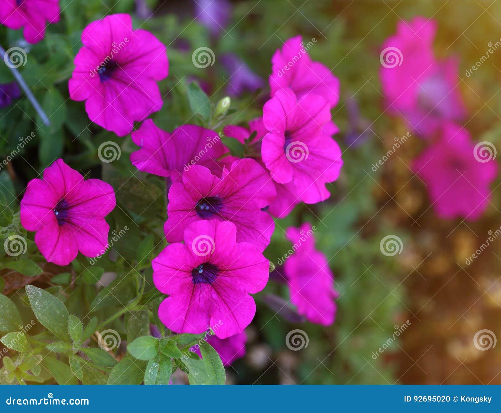Flores violetas do petúnia no potenciômetro de flor