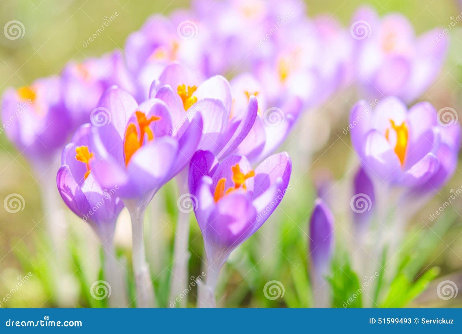 Flores violetas frágeis e delicadas da mola do açafrão