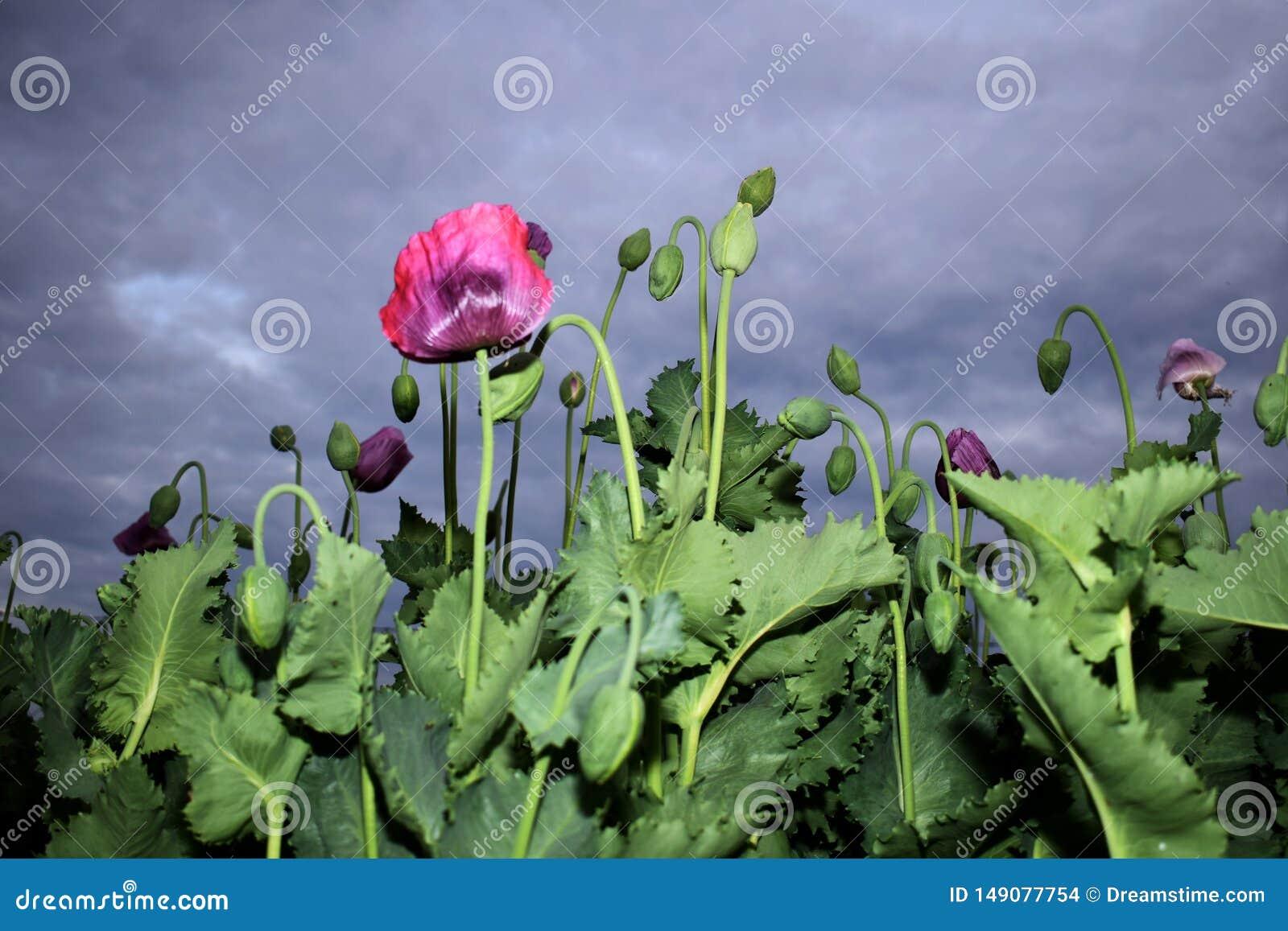 Flores y brotes de la amapola antes de la lluvia