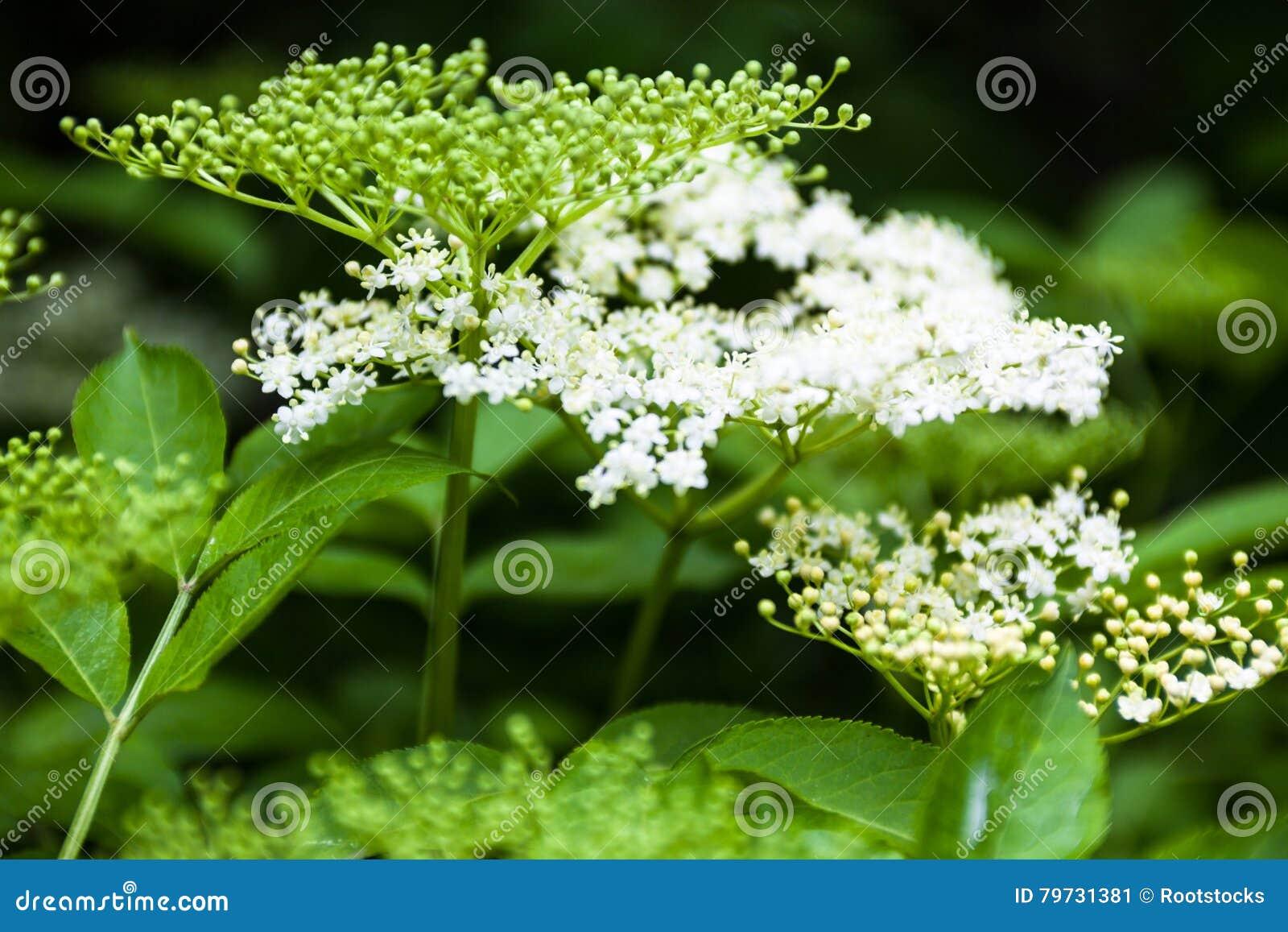 Flores y brotes del Sambucus de la anciano negra