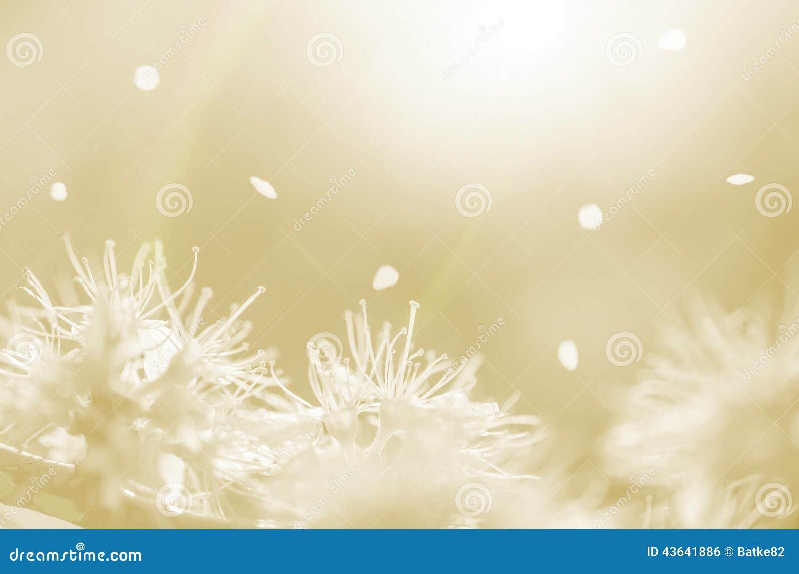 Flores y pétalos blancos de la primavera en extracto anaranjado del fondo