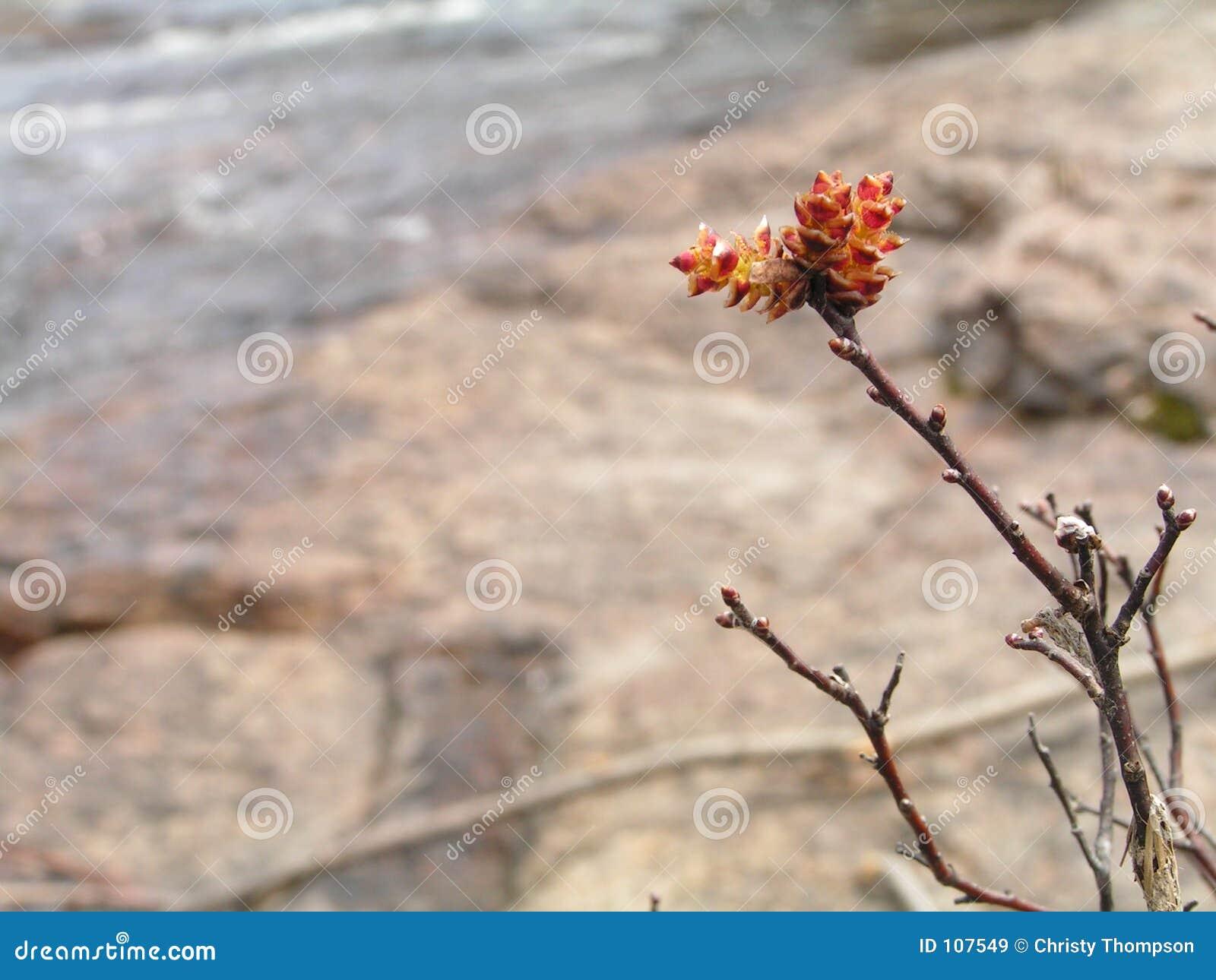 Florescência