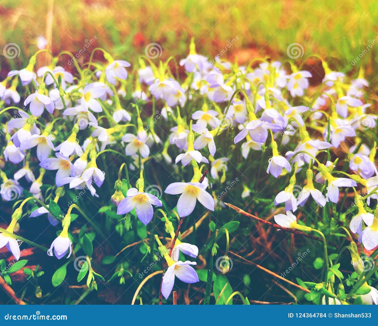 Florescência branca das flores dos lírios da chuva