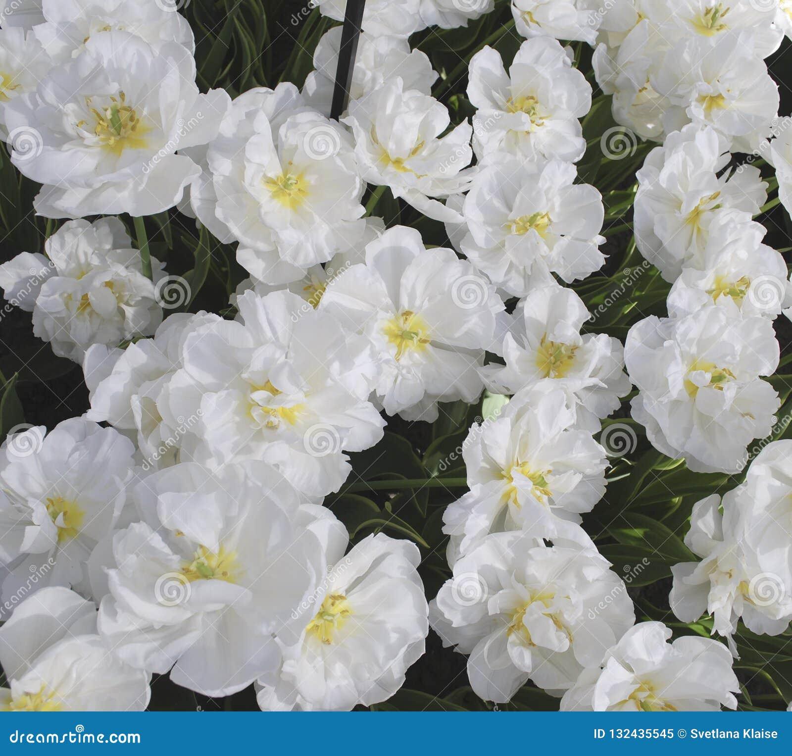 Florescência do grupo de Tulip The Edge Double Early