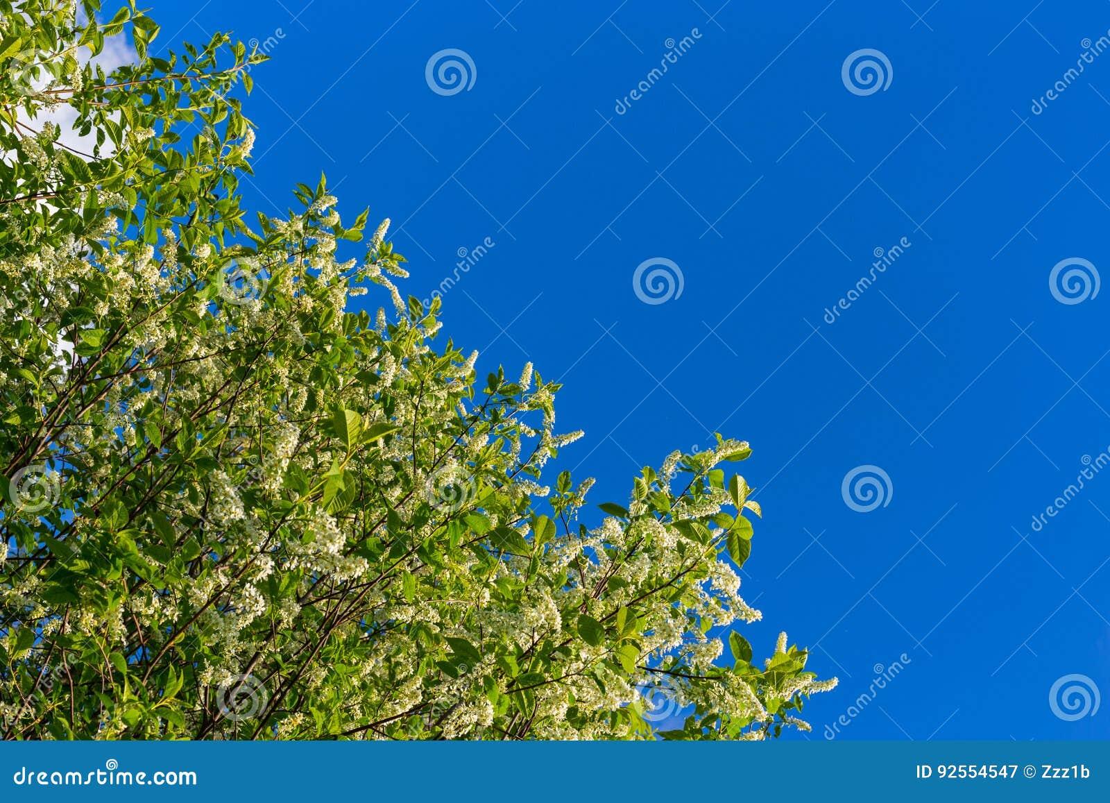 Florescence della uccello-ciliegia su cielo blu