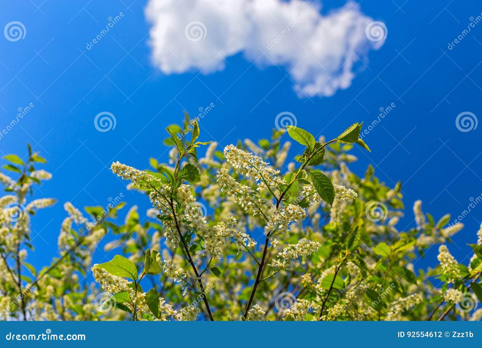 Florescence della uccello-ciliegia su cielo blu con la nuvola