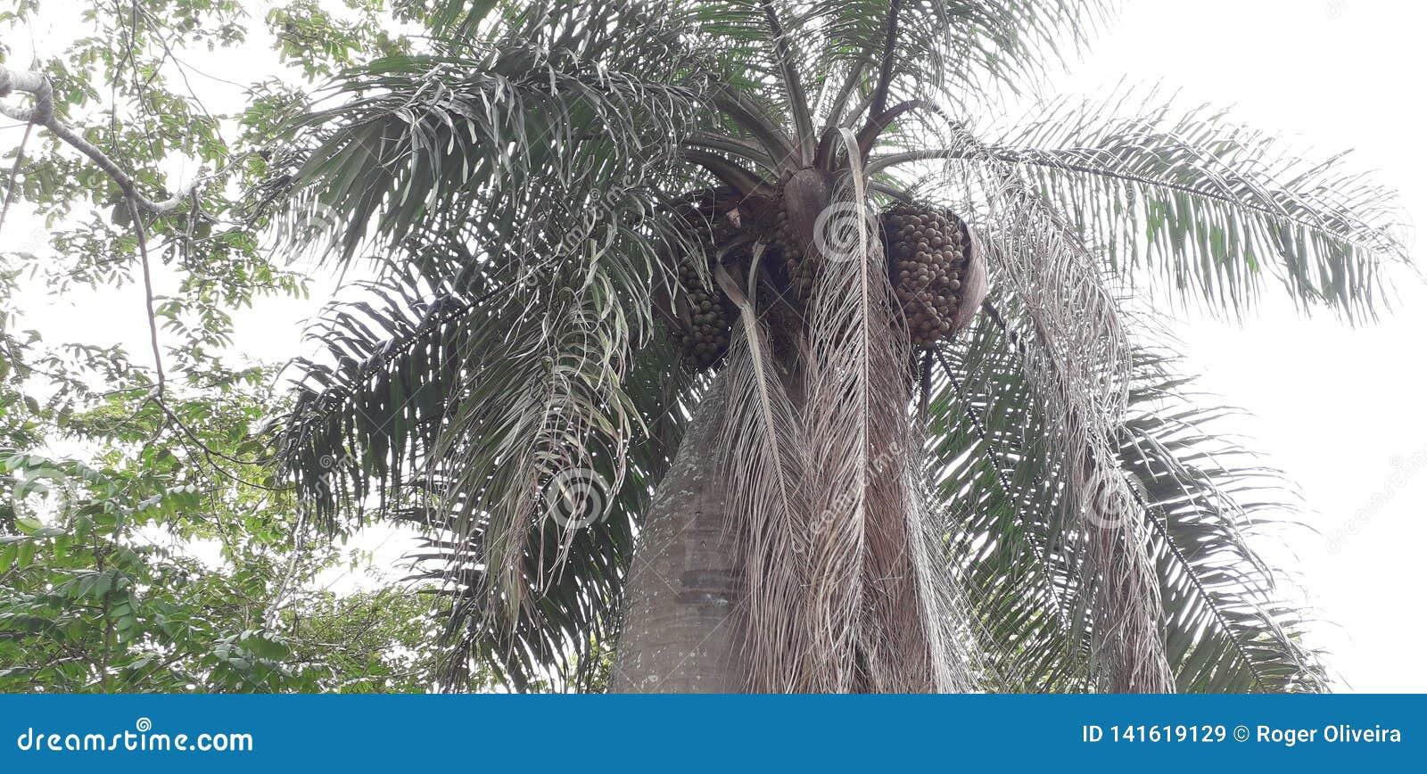 Florest στην πόλη Aldeias, εσωτερική του pernambuco, Βραζιλία