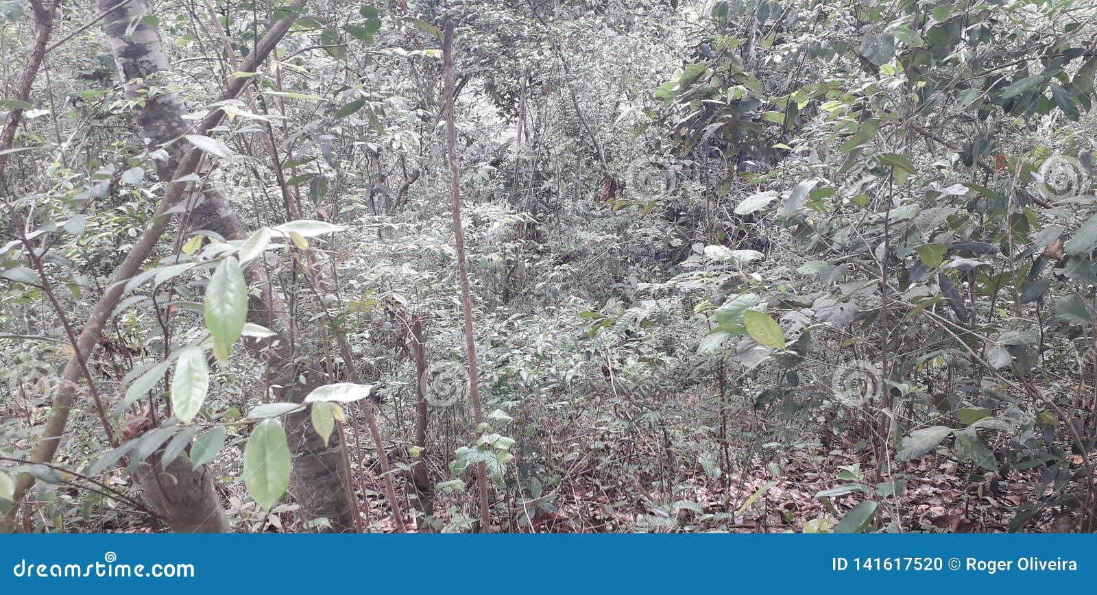 Florest на городе Aldeias, интерьере pernambuco, Бразилии