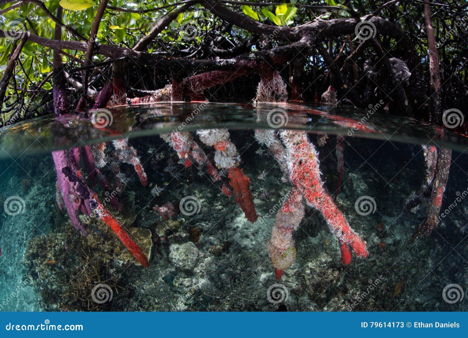 Floresta colorida dos manguezais das raizes de suporte em Raja Ampat