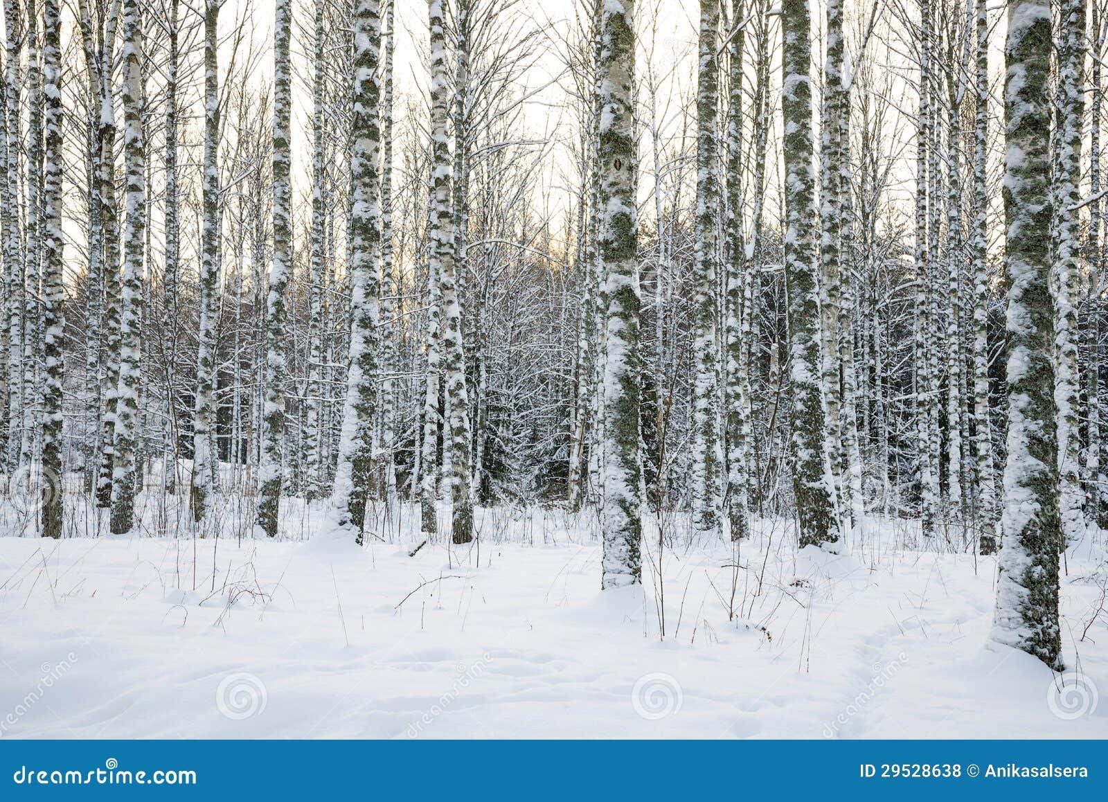 Floresta da árvore de vidoeiro no inverno