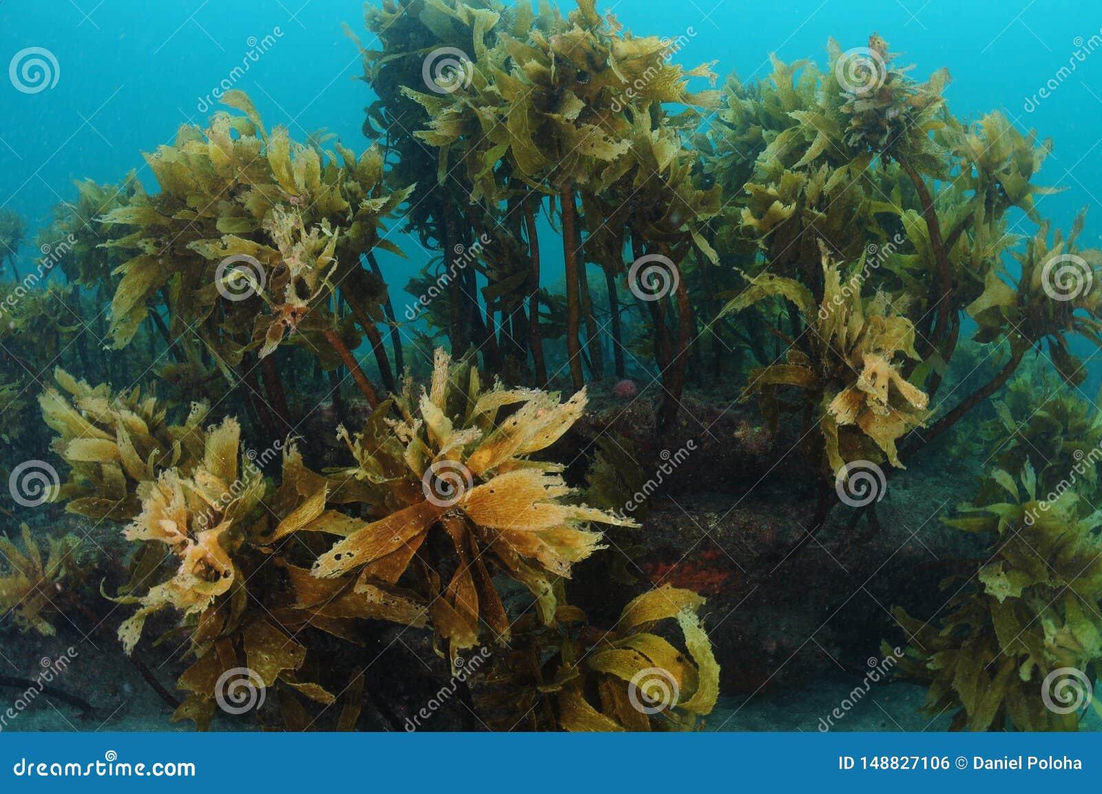 Floresta da alga desenga?ada marrom
